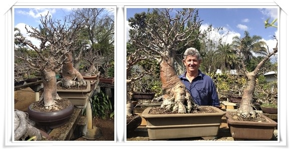 Look honey! I shrunk the baobab tree!