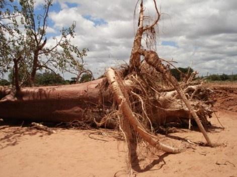 Interesting baobab tree roots