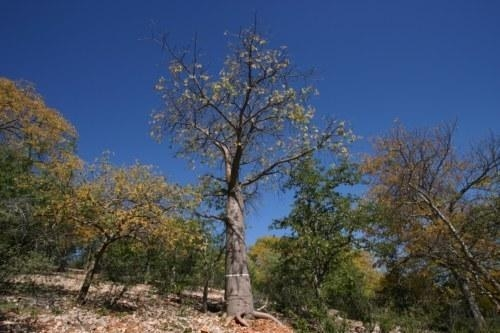 AT WHAT AGE DO BAOBAB TREES START TO PRODUCE FRUIT?